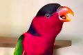 Рингтон от попугая